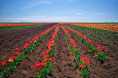 Meadow of tulips. Composition of nature. — Stock Photo