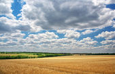 Yellow wheat field and dark blue sky — Stock Photo