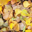Stock Photo: Autumn colorful leaves as background. Autumn colors in woods