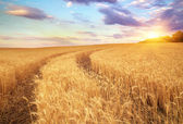 Meadow of wheat. Beautiful landscape. — Stock Photo