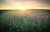 Field with grass, violet flowers and red poppies — Stock Photo