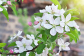 Apple blossoms in spring. Blossom apple tree  — Stock Photo