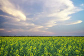 Canola field in bloom with storm on the horizon — Stock Photo