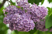 Branch of purple lilac flowers with the leaves — Stock Photo