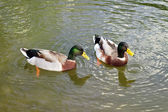 Two wild ducks swim in the river  — Stock Photo