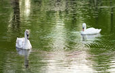 Image of two swans on the city lake  — Stock Photo