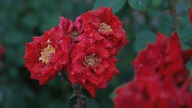 мокрой красная роза — Стоковое видео