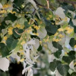 Bees gather nectar from flowers of linden — Vídeo de stock #41031527