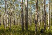 Rainforest in Autralia — Stock Photo