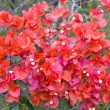 Red Bougainvillea Flower — Stock Photo