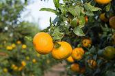 Tangerine grove — Stock Photo