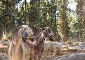 Ormanda otlayan keçileri güzel fotoğraflar. i̇srail. — Stok fotoğraf