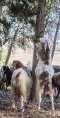 Goats. — Stock Photo