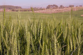 Wheat field and countryside scenery . — Stock Photo