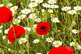 Wild red poppy and white daisy flowers . — Stockfoto