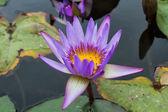 Beautiful photo of lilac lotus . — Стоковое фото
