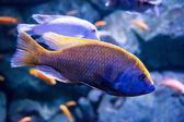 Fish close-up in aquarium — Stock Photo