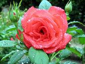 Rose in the garden — Стоковое фото