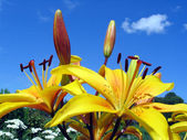 Yellow lilies on the sky background — Stock Photo