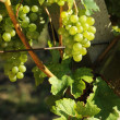 White grapes, Vineyard — Stock Photo
