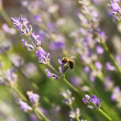 Honey bee on lavender flower — Stock Photo