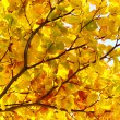 Stock Photo: Beech colorful autumn leaves on branch in sunlight