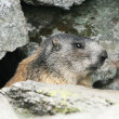 Groundhog standing next to his burrow on rock — Stock Photo