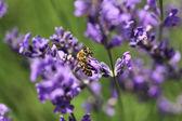 Honingbij op lavendel bloem. honingbij is het verzamelen van stuifmeel. — Stockfoto