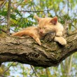 Cat sleeps on a tree — Stock Photo