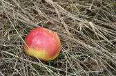 Apple in dry grass — Stock Photo