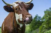 Cow licked — Stock Photo