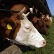 Cows stands in a stall and eats a grass — Stock Photo #30630903