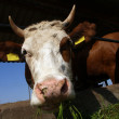 A cow stands in a stall and eats a grass — Stock Photo #30630915