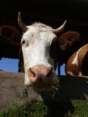 A cow stands in a stall and eats a grass — Stock Photo