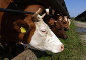 Cows stands in a stall and eats a grass — Стоковое фото