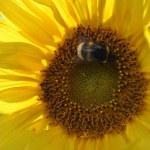 Sunflower — Stock Photo #31811619