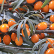 Sea buckthorn background — Stock Photo