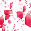 Flying rose petals on white. HD 1080. Looped animation. — Stock Video #29727101