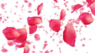 Flying rose petals on white. HD 1080. Looped animation. — Stock Video