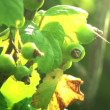 Green berries in sunlight. Light breeze. HD 1080. — Stock Video