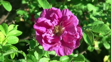 Bee on a Rose Flower. HD 1080. Close-up. — Stock Video