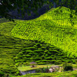 Stock Photo: Cameron Highlands, Malaysia