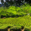 Cameron Highlands, Malaysia — Stock Photo