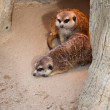 Stock Photo: Meerkats