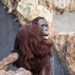 Orangutan at the Zoo — Stock Photo