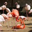Greater Flamingoes — Stock Photo