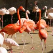 Stock Photo: Greater Flamingoes