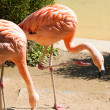 Greater Flamingoes — Stock Photo #35668829