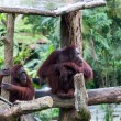 Stock Photo: BoreOrangutan