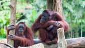 Borean Orangutan — Stock Photo